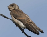 Northern_Rough-winged_Swallow_n10-8-042_l_1